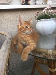 Maine Coon Norwegische Waldkatzen Kitten