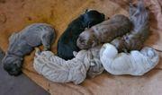 7 Labradorwelpen braun silber schwarz