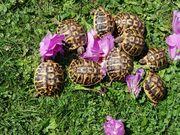 Landschildkröten Testudo hermanni hermanni NZ
