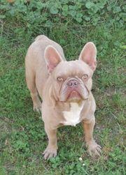 Französische Bulldogge Rüde Isabella