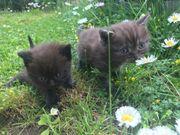 Bkh - Mix Kitten Verkauft Grau