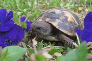 Griechische Landschildkröten Babys Testudo hermanni