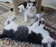 Seed Mr Grey niedliches Kater-Duo