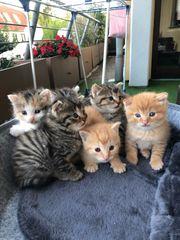 Europäische kurzhaarige Baby Katzen