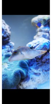 Spitzkopf Kugelfisch canthigaster