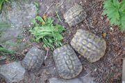 Griechische Landschildkröten 2 junge Paare