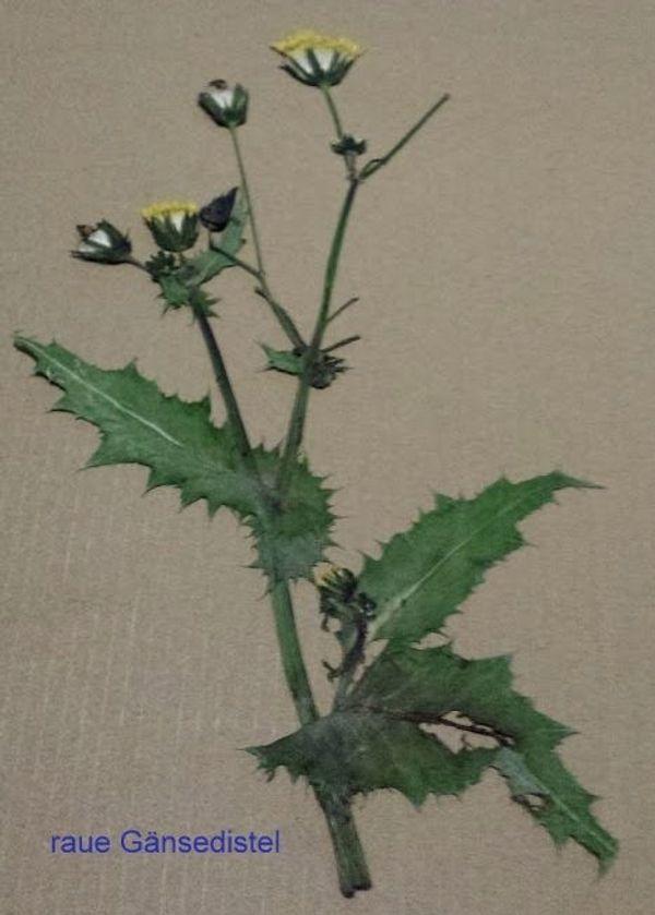 gepresste getrocknete Pflanzen für Herbarium