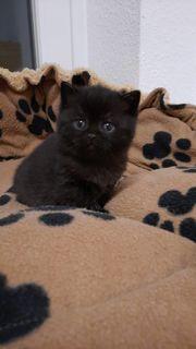 Süße reinrassige BKH-Scocottisch Fold Kitten