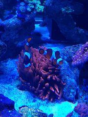 Clownfish Pärchen mit Kupferanemone