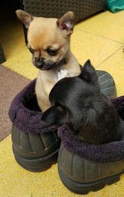 Chihuahua Mini Reinrassig