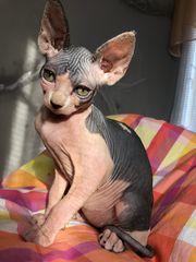 Sphynx Kitten sucht ein neues