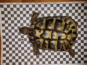 Griechische Landschildkröte thb - Adultes Weibchen