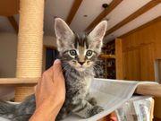Entzückende Maine Coon Kitten bester
