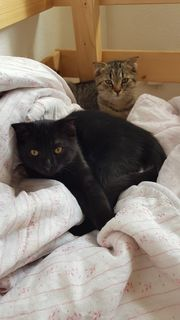 Schottisch Fold BKH Kitten Katzenbabys