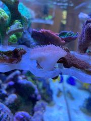 Pilzleder Koralle - mehrere kleine Ableger