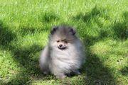 Pomeranian Zwergspitz