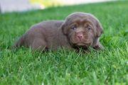 Labrador Retriever Welpen mit Papieren