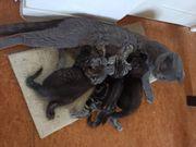BKH Scotish Fold Kitten - ab