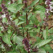 Set46 Basilikum Albahaca - Ocimum basilicum -