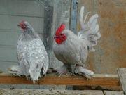 Federfüsige Zwerghühner Perlgrau mit weißen