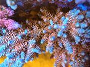 Korallen Acropora Cherry Bomb Meerwasser