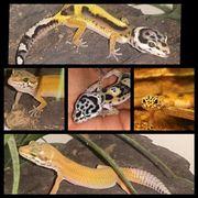 Leopardgeckos aus liebevoller Zucht