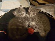 Reinrassige Britisch Kutzhaar Kitten in