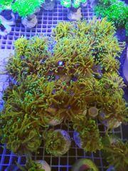 Korallen golden Torch Tridacna Ableger