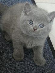 BKH reinrassige Kätzchen Blue Blau