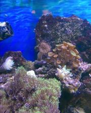 Suche Meerwasser Lebendgestein Bewohner