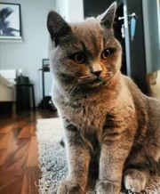 Wurfankündigung BKH Kitten 16 03