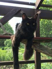 Maine Coon Kater in liebevolle