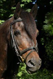 Suche Offenstallplatz für Pony Wallach