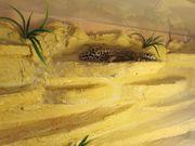 Terrarium mit Leopardgeckos
