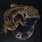 0 2 Leopardgecko Black Night