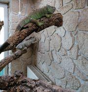 1 1 Iguana iguana Grüner