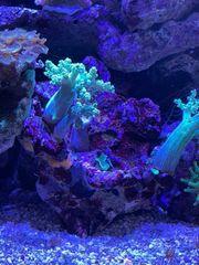 meerwasser stein mit koralle