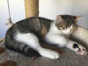 Süße dreifarbige kleine Persermischlingskatze sucht