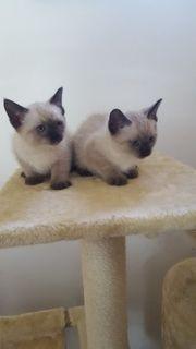 Siam-Thai Babykatzen