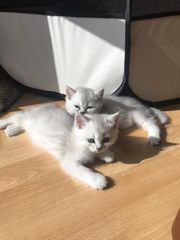 Kitten Silver chinchilla