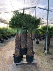 Palme Hanfpalme Trachycarpus Fortunei