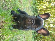Französische Bulldogge Welpen blue und