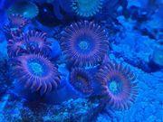 Zoanthus Red Magicians Korallen Ableger