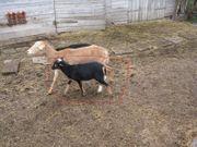 Kamerunschafe Kamerun Schafe Schaf Schwarzmarker