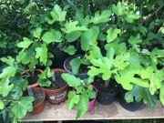 Feigenbaum Feige Pfälzer Fruchtfeige ficus