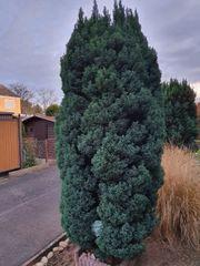 2 Chamaecyparis thyoides Bäume