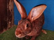 Reinrassiger Hasenkaninchen Zucht Rammler abzugeben