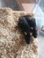 2 weibliche 3 männliche Ratten