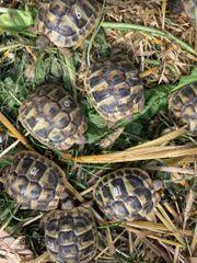 Griechische Landschildkröten testuto hermani boettgeri