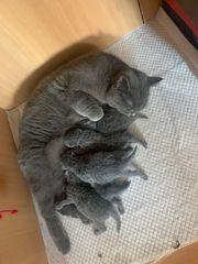 5 Reinrassige BKH Kitten